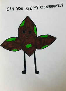 Drawing by Eilidh - a leaf stained brown (with iodine) and some green parts. Text above reads 'can you see my chlorophyll?'
